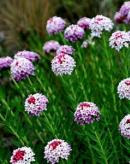 有毒蜜源植物——狼毒