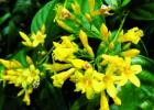毒蜜源植物 蜜蜂 蜜蜂养殖 蜜蜂养殖技术 有毒蜜源 养蜜蜂 养蜂技术 钩吻图片