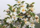 毒蜜源植物 蜜蜂 蜜蜂养殖 蜜蜂养殖技术 有毒蜜源 养蜜蜂 养蜂技术 油茶图片