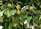 毒蜜源植物 蜜蜂 蜜蜂养殖 蜜蜂养殖技术 有毒蜜源 养蜜蜂 养蜂技术 喜树图片