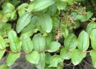 毒蜜源植物 蜜蜂 蜜蜂养殖 蜜蜂养殖技术 有毒蜜源 养蜜蜂 养蜂技术 马桑图片