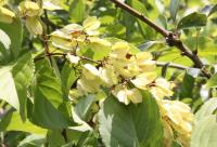有毒蜜源植物——雷公藤
