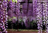 有毒蜜源植物——紫金藤