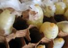蜂蛹 蜂蛹的作用与功效 蜂蛹治病案例 蜂蛹的功效 蜂蛹的好处
