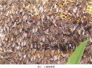 蜜蜂 良种 品种 小蜜蜂 小蜜蜂分布 小蜜蜂特征 小蜜蜂经济价值