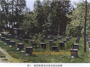 蜜蜂 蜂种 高加索蜂 高加索蜂的特征 高加索蜂的产地 高加索蜂历史
