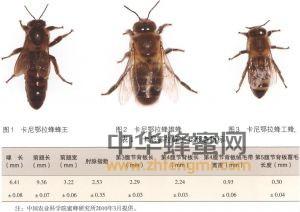 蜜蜂 蜂种 蜜蜂养殖 卡尼鄂拉蜂品种 卡尼鄂拉蜂特征 卡尼鄂拉蜂的产地 卡尼鄂拉蜂的利用