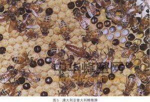 蜜蜂 蜜蜂品种 蜜蜂养殖 澳大利亚意大利蜂 澳大利亚意大利蜂特征 澳大利亚意大利蜂产地