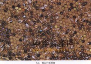 蜜蜂 蜜蜂品种 意大利蜂 意大利蜂特征 意大利蜂产地 意大利蜂利用