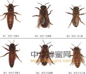蜜蜂 蜜蜂品种 蜜蜂养殖 松丹蜜蜂配套系 松丹蜜蜂配套系特征 松丹蜜蜂配套系饲养