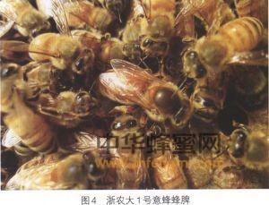 蜜蜂 蜜蜂养殖 蜜蜂品种 浙农大1号意蜂 浙农大1号意蜂特征 浙农大1号意蜂培育 浙农大1号意蜂饲养