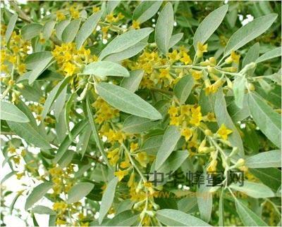 蜂蜜 枣花蜜 枣花蜜产区 枣花蜜特征 枣花蜜成分 枣花蜜的作用与功效