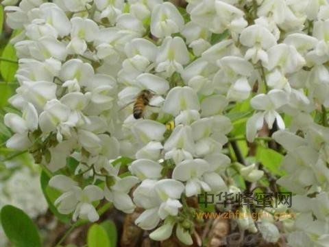 蜂蜜 刺槐蜜 刺槐蜜的特征 刺槐蜜成分 刺槐蜜产区 刺槐蜜作用与功效