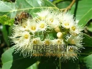 蜜蜂 桉树蜜 桉树蜜特征 桉树蜜产区 桉树蜜成分 桉树蜜的作用与功效