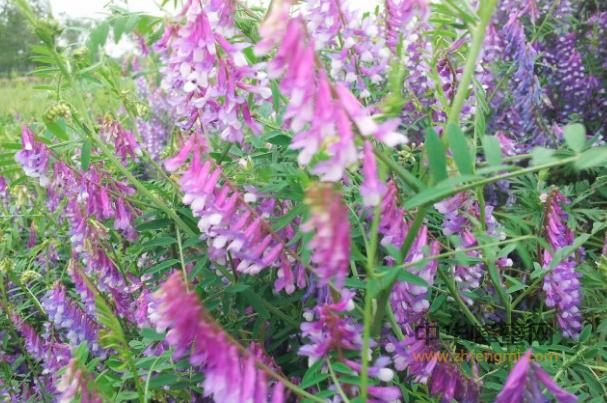 蜂蜜 苕子蜜 苕子蜜产区 苕子蜜成分 苕子蜜特征