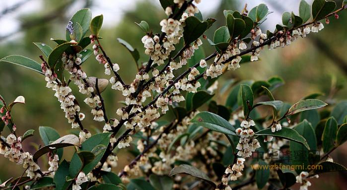 蜂蜜 柃蜜 柃蜜产区 柃蜜成分 蜂蜜作用与功效 柃蜜特征