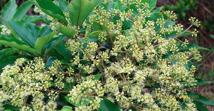 蜂蜜 鹅掌柴蜜 鹅掌柴蜜成分 鹅掌柴蜜特征 鹅掌柴蜜产区 鹅掌柴蜜作用与功效