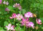 蜂蜜 紫云英蜜 紫云英蜜特征 紫云英蜜成分 紫云英蜜产区 紫云英蜜作用与功效