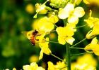 蜂蜜 油菜蜜 油菜蜜产区 油菜蜜成分 油菜蜜特征 油菜蜜作用与功效
