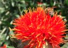 蜂蜜 红花蜜 红花蜜产区 红花蜜特征 红花蜜作用与功效