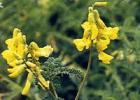 蜂蜜 黄芪蜜 黄芪蜜产区 黄芪蜜特征 黄芪蜜作用与功效