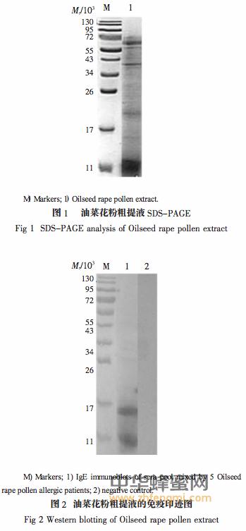 油菜花粉 过敏 过敏原 鉴定 油菜花粉 成分 作用 分析