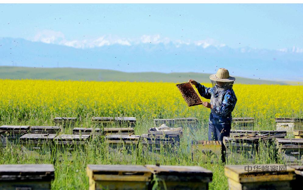 蜂业 美国 中国 政策扶持 蜜蜂养殖 养蜂技术 养蜂灾害 养蜂保险