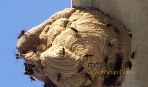 蜜蜂养殖 蚂蜂 胡峰 蜜蜂养殖技术  养蜂视频 养蜂技术视频