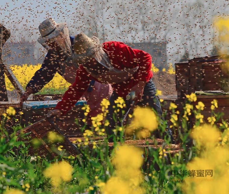 腾冲 云南 养蜂少年 吉怀德 咖啡蜜源 蜂场 中蜂养殖 陈盛禄  养蜂技术