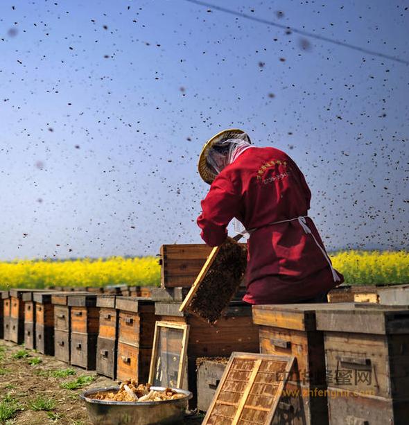 养蜂人 养蜂 90后 中蜂养殖技术 养殖管理 蜂群检查