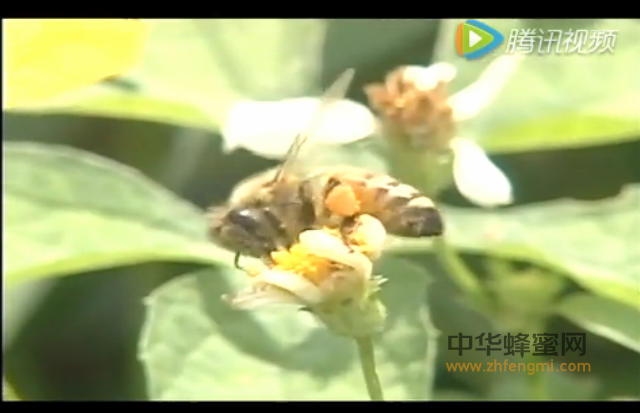 蜜蜂 蜂蜜 养蜂 养蜂视频 养蜂技术 蜂群 蜜蜂分工