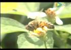 宜兰  蜜蜂视频 养蜂技术 蜜蜂养殖 蜜蜂病害 敌害