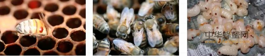 蜜蜂 传染性病原 活力