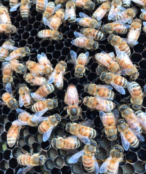 蜜蜂 病害 下痢 冻害 营养不良 热病