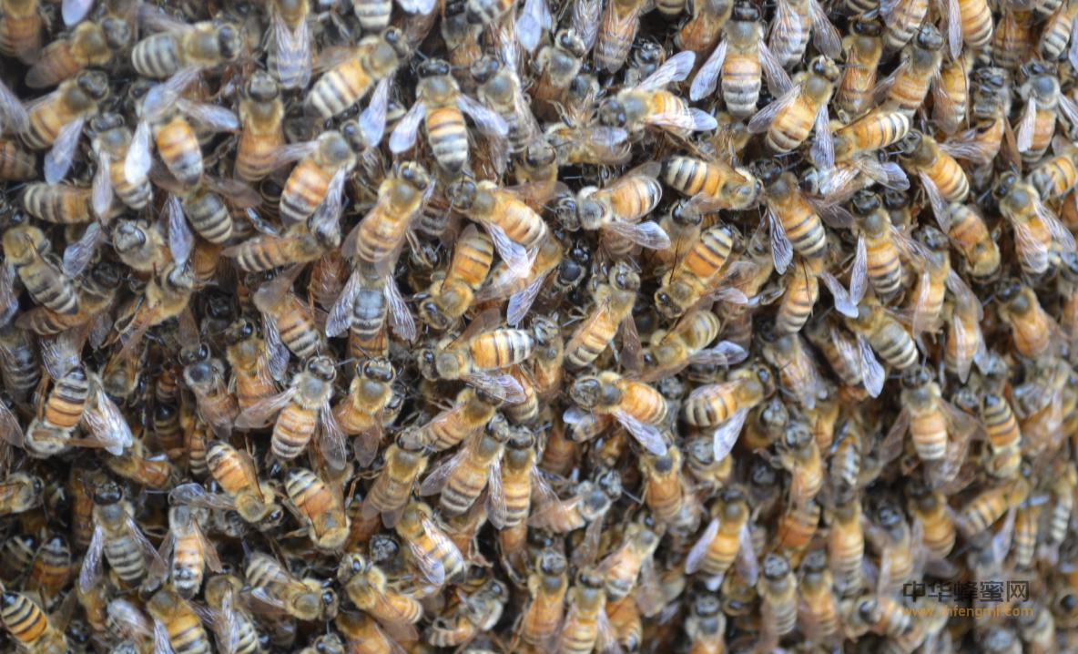 蜜蜂 蜂群 选购 最佳时期 蜜源花期