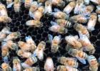 蜜蜂 蜂种 分布 意蜂 中蜂