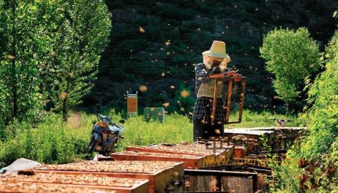 蜜蜂 养蜂技术 开箱技术 蜂群管理 蜂群合并