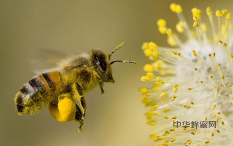 蜂花粉 花粉 需要 破壁 养蜂 蜜蜂 食用