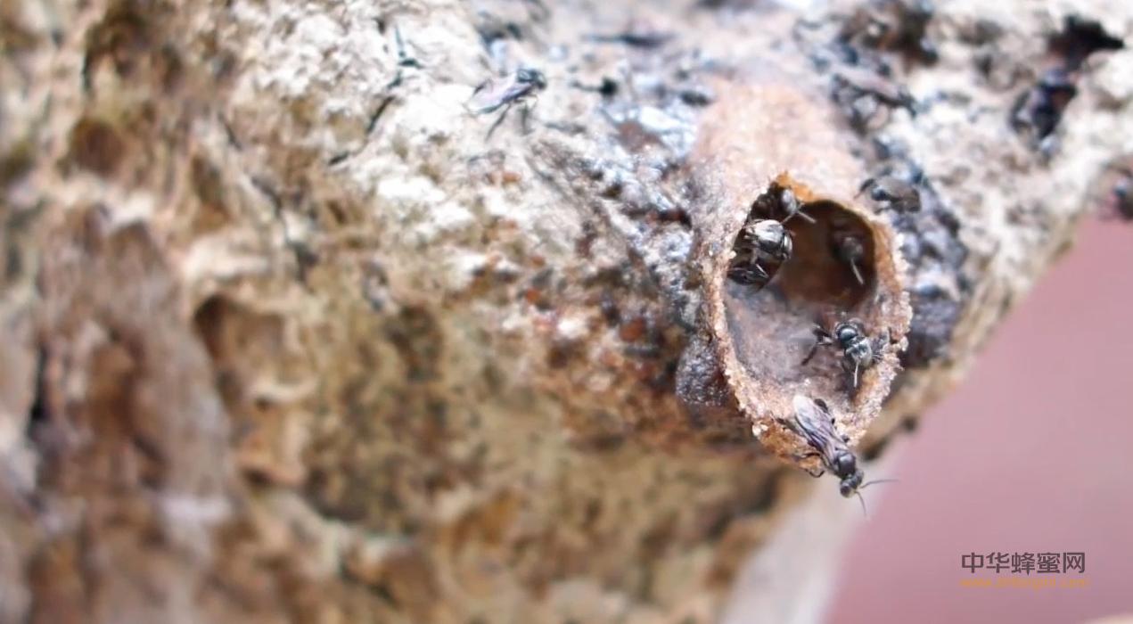 【视频】养蜂技术视频-无针蜂(银峰)养殖