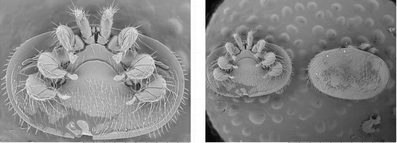 蜜蜂 大蜂螨 蜜蜂病虫害 大蜂螨特征 大蜂螨防治 螨扑