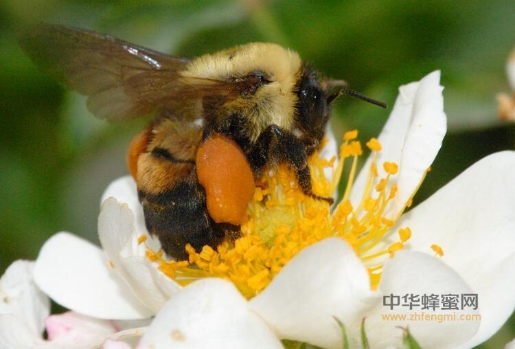 蜂花粉 花粉 专家 营养价值 营养学