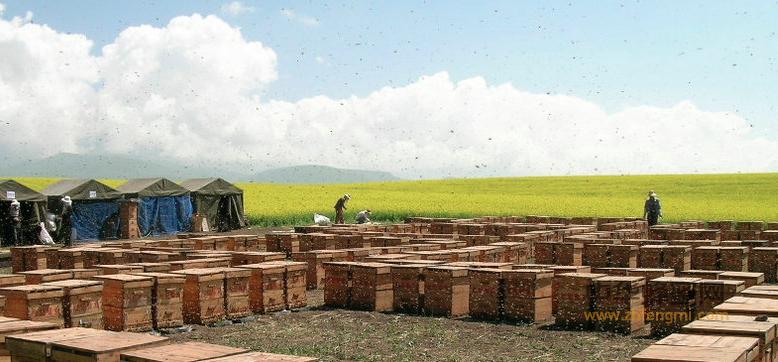 蜜蜂 养蜜蜂 蜜蜂养殖 转地 育王 分群