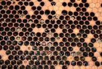 小蜂螨的特征及防治