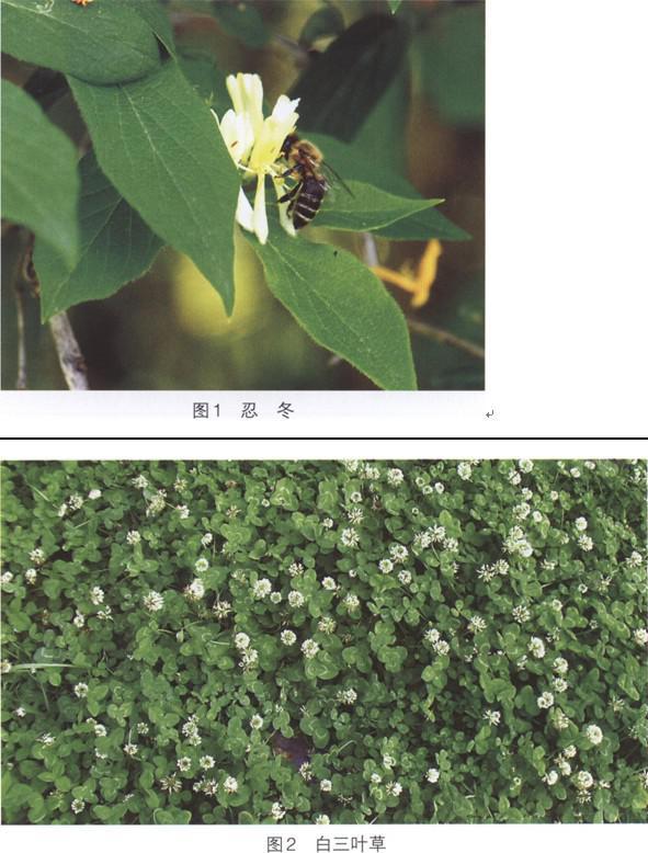 喀(阡)黑环系蜜蜂