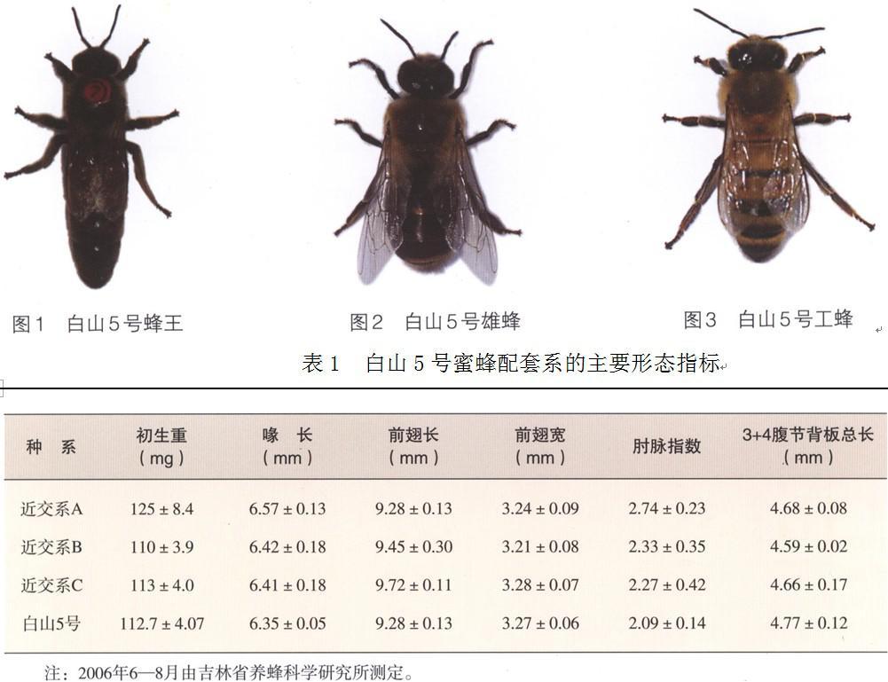 蜜蜂 蜜蜂品种 蜜蜂养殖 白山5号蜜蜂配套系 白山5号蜜蜂配套系特征 白山5号蜜蜂配套系饲养