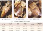 蜜蜂 蜜蜂品种 国蜂414配套系 国蜂414配套系特征 国蜂414配套系培育 国蜂414配套系饲养