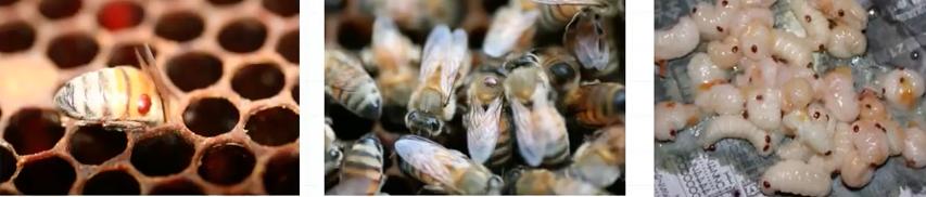 蜜蜂 蜜蜂病虫害 病虫害防治 养蜂技术