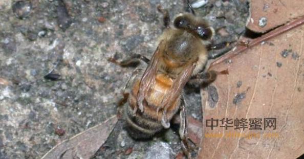 蜜蜂 蜜蜂养殖 蜂王 生理性病害 病虫害