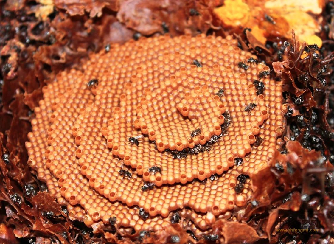 银蜂 无针蜂 银蜂养殖 银蜂养殖技术