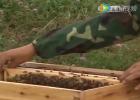 蜜蜂 养殖技术 视频 新疆黑蜂养殖
